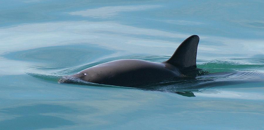 Vaquita4_Olson_NOAA