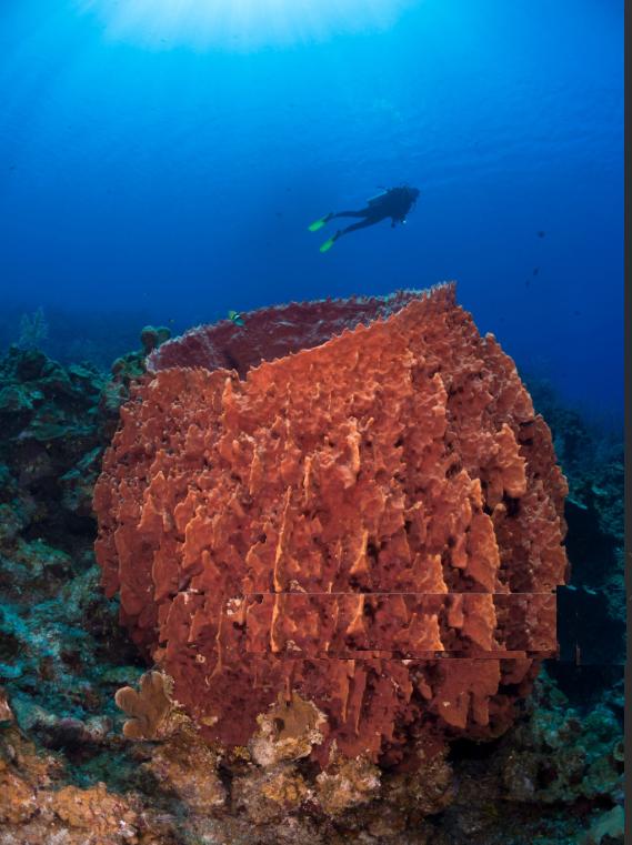 Karayiplerde bir dalıcı ve varil süngeri